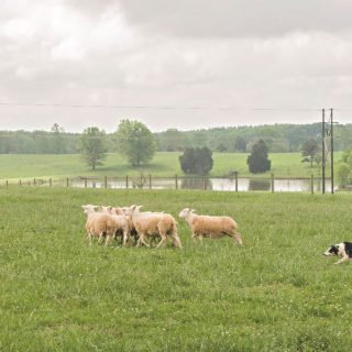 In The Field With Tom Wilson, Champion Dog Herding Trainer
