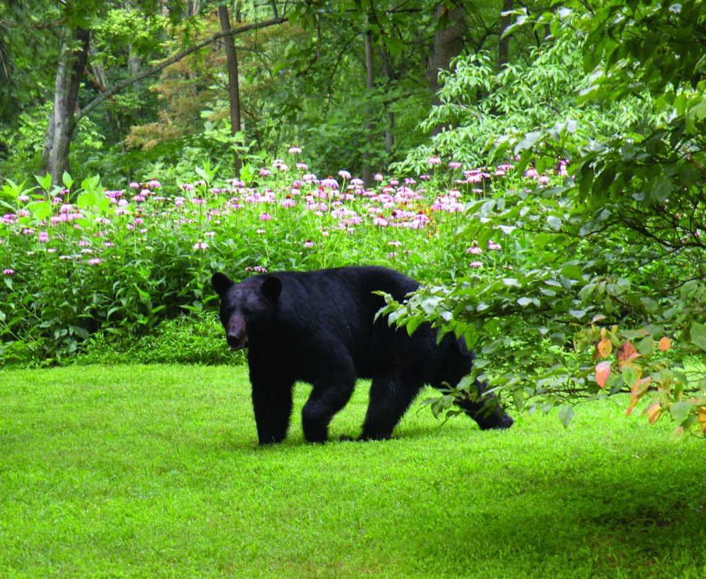 """This bear sprung a camera """"trap"""" at the home of Doug and Norma Epley in Rappahannock. Photo courtesy of Doug and Norma Epley"""