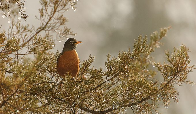 web-2-male-american-robin