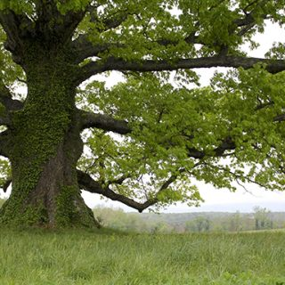 The Mighty White Oak