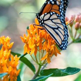 Wild Ideas: The decline of the monarch
