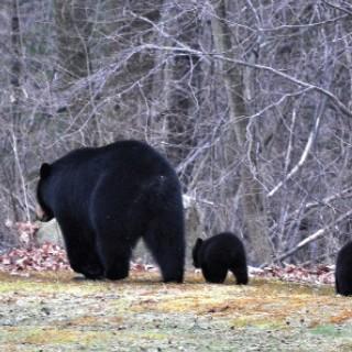 Black Bear  Primer