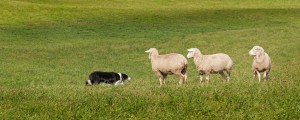 Stock Dog (Border Collie) and Sheep (Ovis aries) Standoff - fall background
