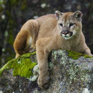 Ghost Cat: The Mystery of the Eastern Cougar