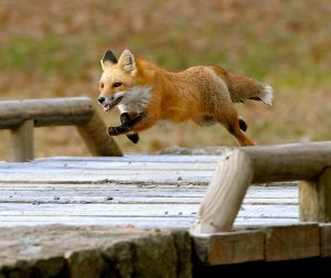 the-fox-across-little-river-bridge-orange-county-hounds-in-pursuit-small