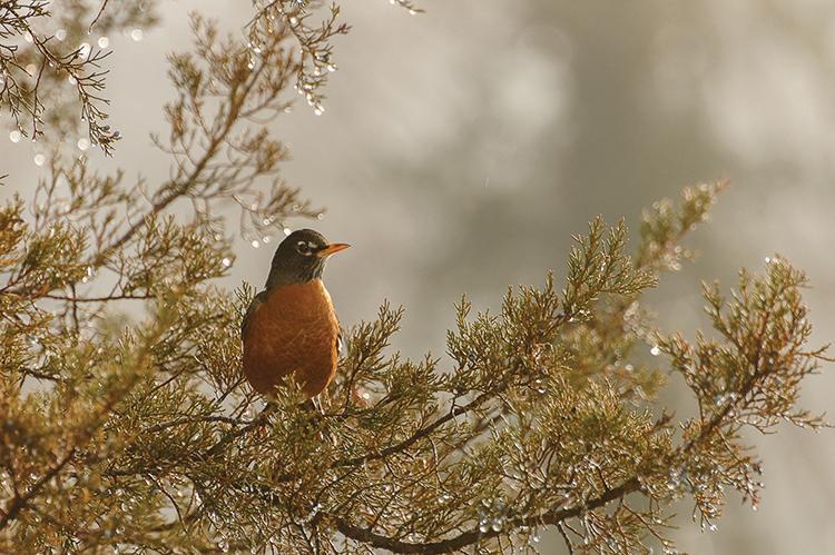 web-male-american-robin
