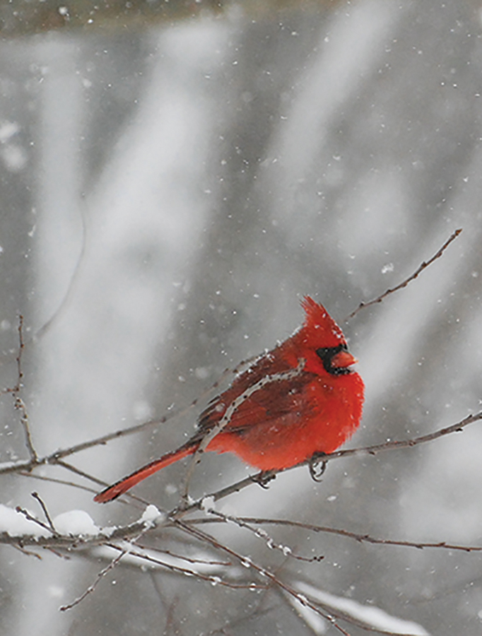 web-male-northern-cardinal