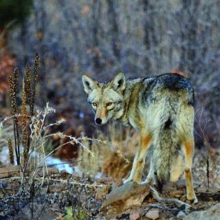 Coyotes, Our Elusive Neighbors