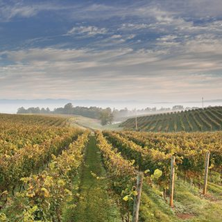 The Strange, True Beginnings  of Virginia Wine
