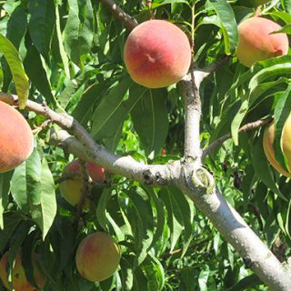 Peaches in the Piedmont
